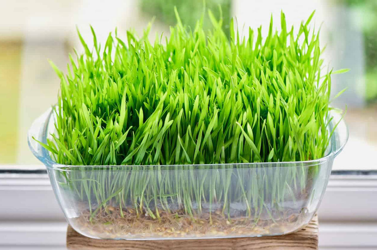 8)-Wheatgrass--pinterest.jpg
